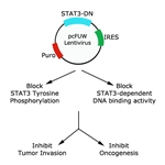 STAT3 Inhibition to Prevent an Oncogenic Attack