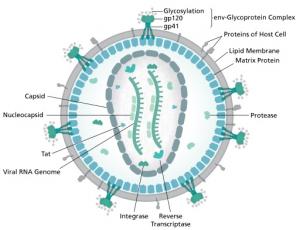 Diagram of an HIV virion. Author: Thomas Splettstoesser.
