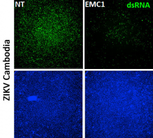 dsRNA [rJ2] antibody used to detect Zika virus (green) infection of cultured human cells. Learn more here >>