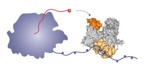To make human proteins, the human polymerase (left) produces messenger RNA (red). The influenza polymerase (right) binds via its beige region to the long tail of the human polymerase, allowing it to grab hold of the RNA (red) and pirate it to direct production of viral messenger RNA and hence viral proteins. Image credit: Maria Lukaska/EMBL.