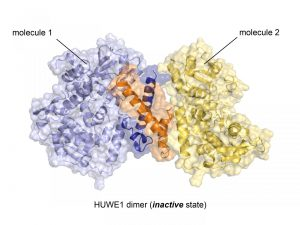 Crystal structure of the ubiquitin ligase HUWE1 in the newly discovered inactive state. The two molecules that form the dimer are represented as cartoons and surfaces. The region that mediates dimer formation is highlighted (orange, dark blue). Credit: Sonja Lorenz.