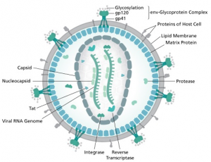 Diagram of an HIV virion. Author: Thomas Splettstoesser.